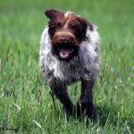 Assurance animaux Griffon à poil dur