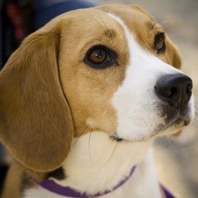assurance santé mutuelle beagle