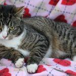 Immunodeficience Feline - FIV chat