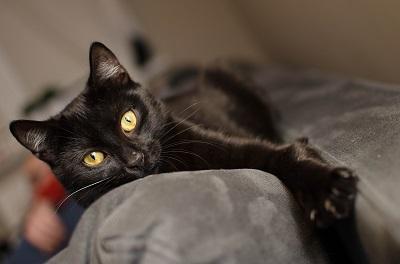 stérilisation d'une chatte femelle