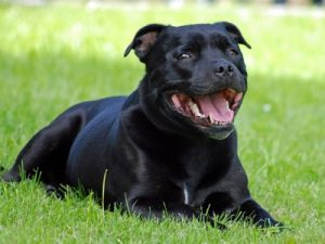 assurance-sante-chien-Staffordshire-bull-terrier-1