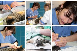 Les étapes chirurgicales vétérinaires de traitement d'une tumeur cancéreuse chez le chat