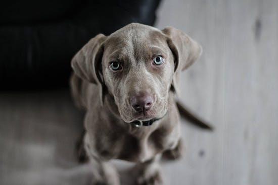 comment soulager un chien souffrant